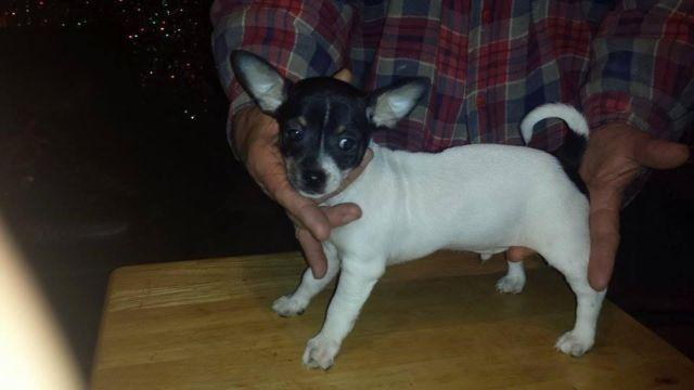 NEW price Chihuahua pup