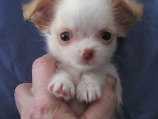 SKEETER is an orphan Chihuahua pup SOLD!!!