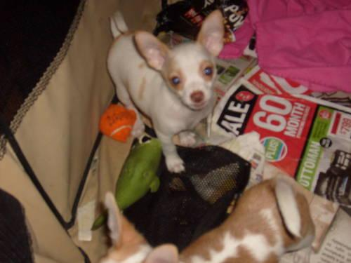 Tiny Teacup Chihuahua Puppies For Sale In Suffolk Virginia