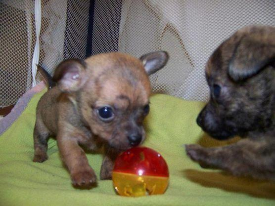 Beautiful Teacup Chihuahua Puppies For Sale In Cincinnati Ohio