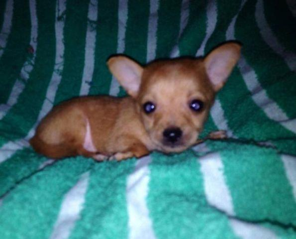 Purebred Tiny Teacup Chihuahua Puppies For Sale In Beach Texas