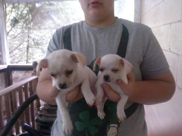 Adorable AKC Chihuahua Puppies