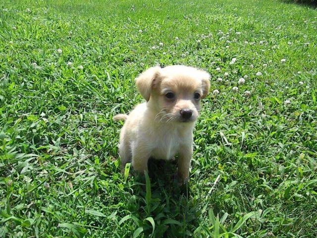 Lng Coat Chihuahua Puppies