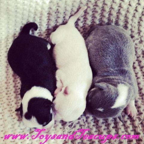 Micro Teacup Chihuahua Puppies
