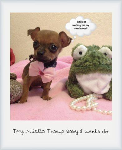 Micro TEACUP Chihuahua Puppies! for Sale in Pomona, California