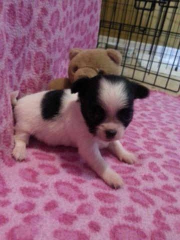 CKC Long Coat Chihuahua puppies
