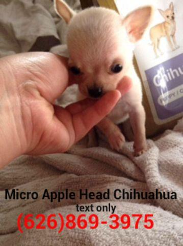 ???? True Teacup Chihuahua Puppies ????Applehead