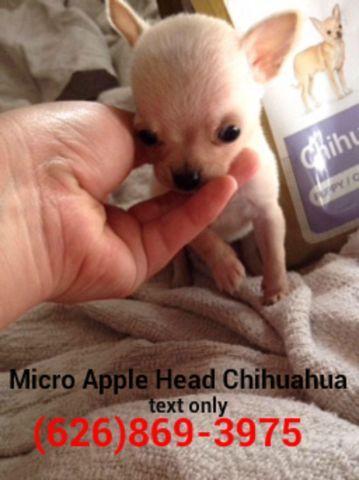 ???? True Teacup Chihuahua Puppies ????Applehead