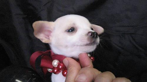 Apple Head Chihuahua Puppy For Sale In Allen Texas Classified