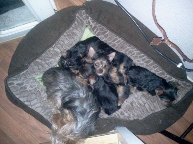 cute tiny chihuahua pups