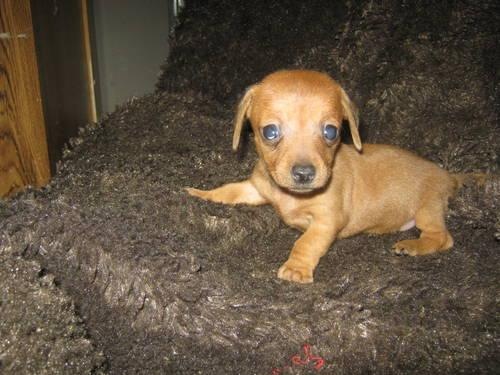 Tri Color Teacup Chihuahua 20 Of 20 | Dog Breeds Picture