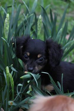 Long Haired Chiweenie Puppy