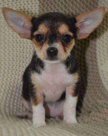 Tiny XS Chorkie Puppy