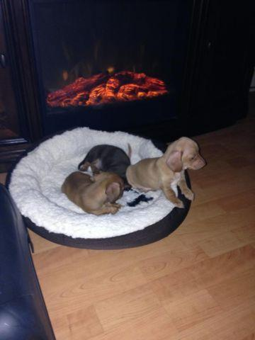 ****** JUST in TIME for CHRISTMAS ****** Dachshund Puppies
