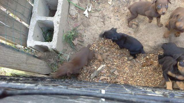 ***AKC REG DOBERMAN PINSCHER PUPPIES *** CHRISTMAS SPECIAL ***
