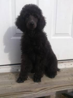 Looking for Standard Poodle ckc or akc