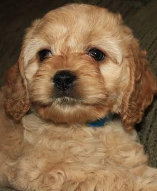 Beautiful Loving Cockapoo Puppies! for Sale in Rice