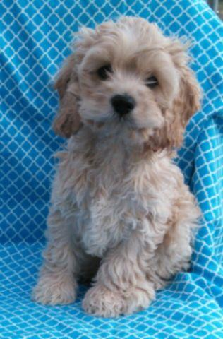 Gorgeous Male Cockapoo Puppies!