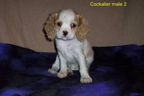 cocker spaniel puppies for sale in texas cockaliers cavalier kc spaniel cocker spaniel puppies 8626