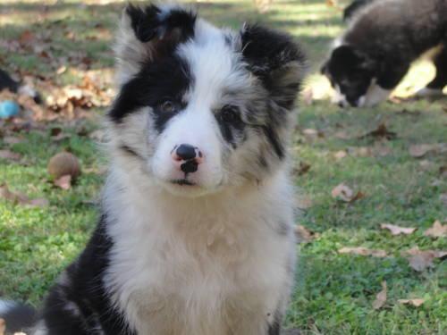 AKC Border Collie puppies