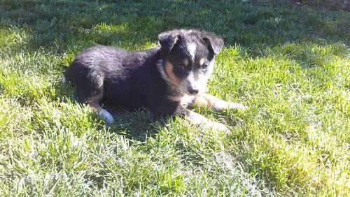 Queensland Heelerborder Collie Puppies For Sale In Livermore