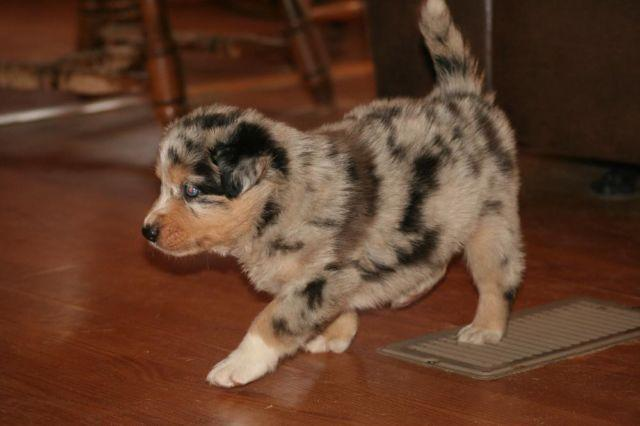 Adorable AKC Border Collie puppies for Sale in Six Lakes