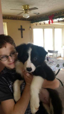 Male Border Collie Puppies For Sale In Corwin Ohio Classified