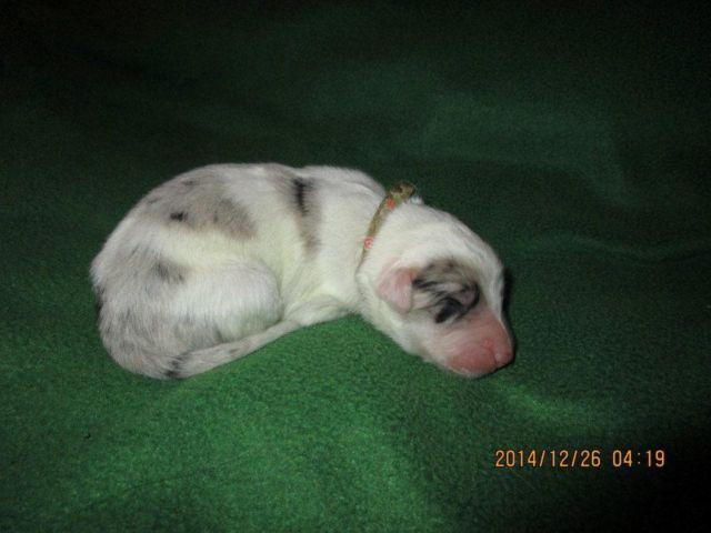 Abca Border Collie Puppies For Sale In Corwin Ohio Classified