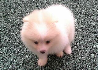 Pomeranian Puppy Sable Color Female