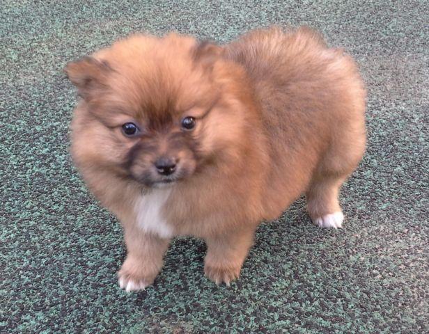 Pomeranian Puppy Cream Color Female
