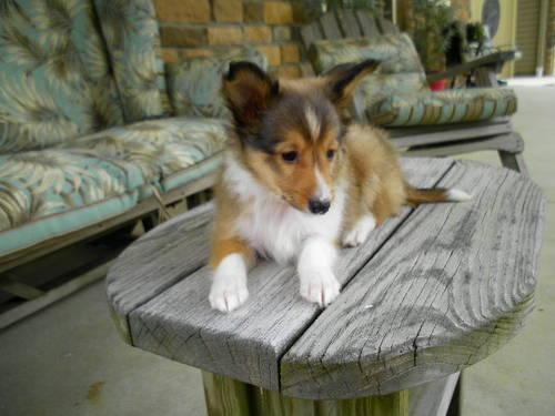 Akc Sheltie Puppies All Colors And Sexes For Sale In Marion Ohio