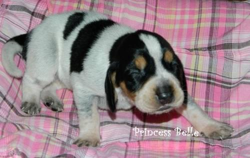 AKC Registered Basset Hound Puppies- COMING IN JANUARY 2013