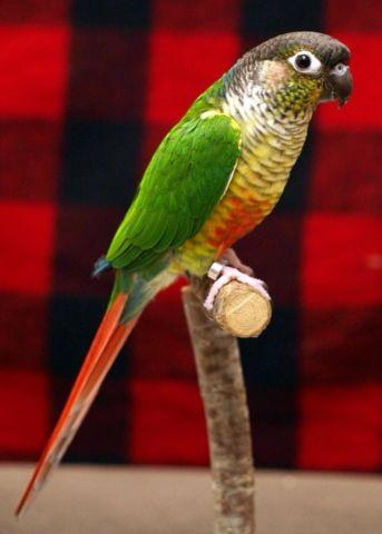 Green cheek conure for Sale in Ona, West Virginia Classified