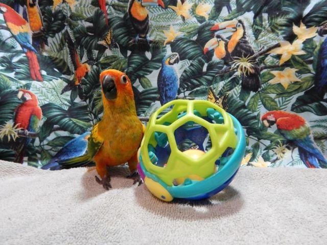 Only 2 adorable Sun Conure Babies Left