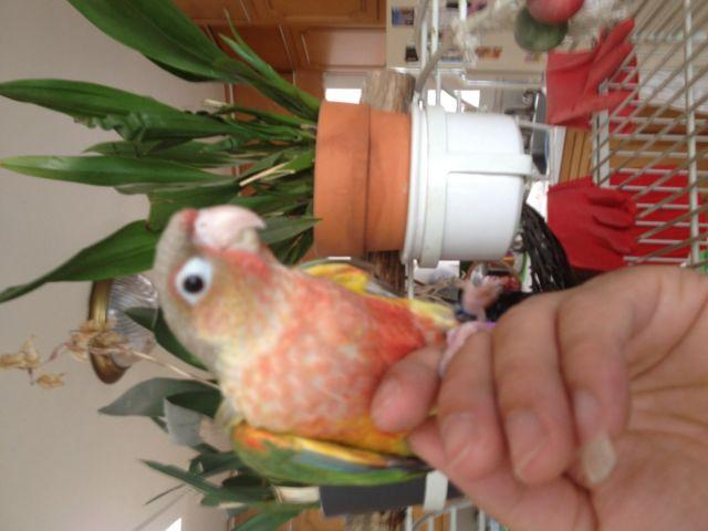 Handfed babies green cheek conures (bird parrot conure)