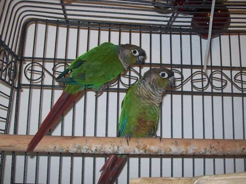 Green Cheek Conures Pair