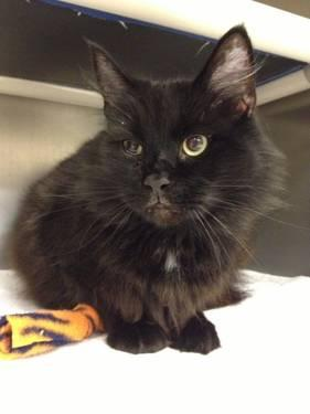 Domestic Long Hair - Black - T-4 Cookie - Medium - Adult - Male
