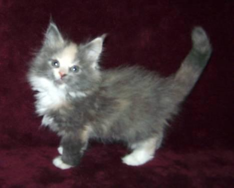 Registered Maine Coon Kittens for Sale in Jester, Texas Classified