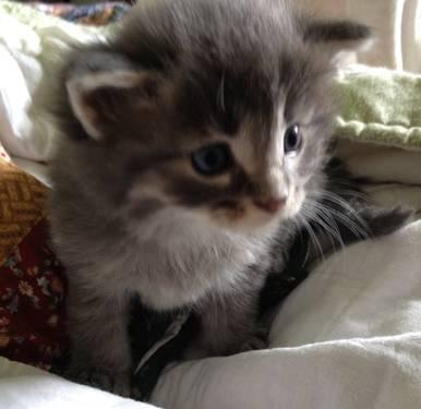 ADORABLE SILVER MAINE COON KITTENS for Sale in Scottown, Ohio