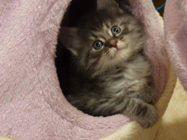 CFA Maine Coon Kittens for Sale in Havelock, North Carolina