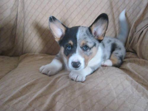 Blue merle ckc corgi puppies for Sale in Bay Mills
