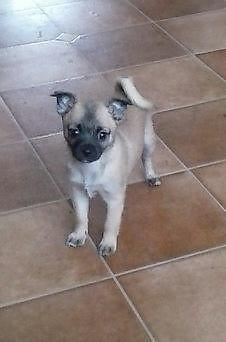 Adorable Male Pug Cross-Super Cute & Cuddly-Includes a Puppy Kit