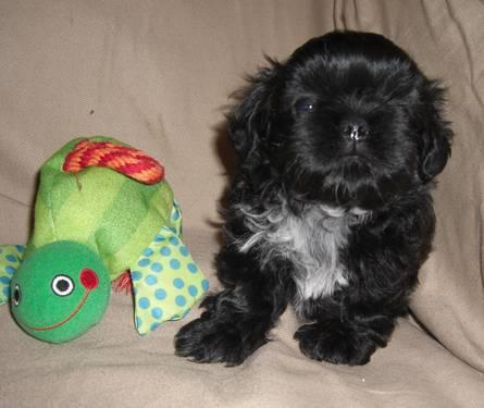 Shih Tzu Puppy ~Male~ Super Cute~ For Sale AKC