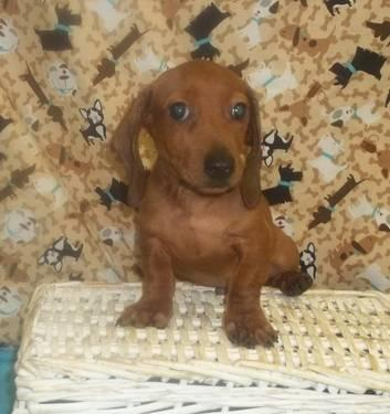 Gorgeous Red Male Dachshund! AKC!