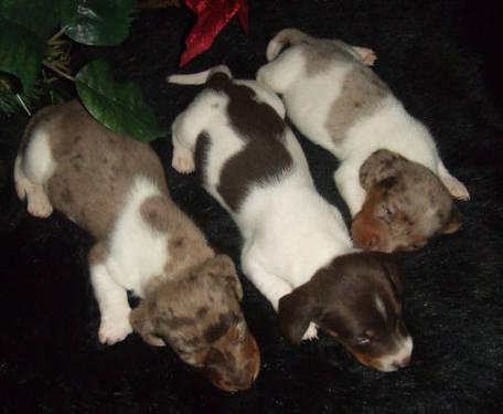 TAKING DEPOSITS 3 mini piebald dachshund male pup $350 each