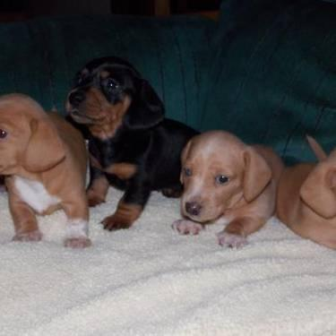 Adorable Miniature Dachshund Puppies For Sale In Roseburg Oregon