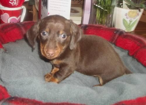 ACA Registered Dachshund Puppies