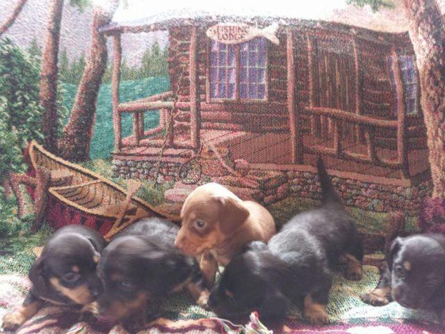 Pure Breed Miniature Dachshund Puppies