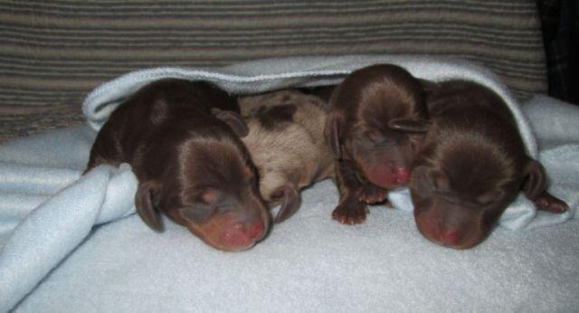 Akc Mini Dachshund Puppies For Sale In Buckhannon West Virginia