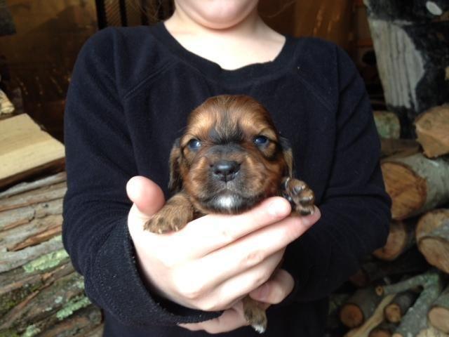 Ckc Male Mini Dachshund Puppies For Sale In Bryan Kentucky